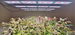 UT-Arlington and UT-El Paso to Evaluate Phytochrome Manipulation in Hemp