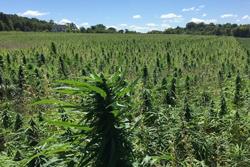 A field of hemp plants, (Cannabis sativa L.)